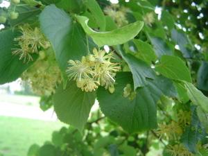 Lindenblueten1
