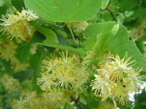 Lindenblueten2